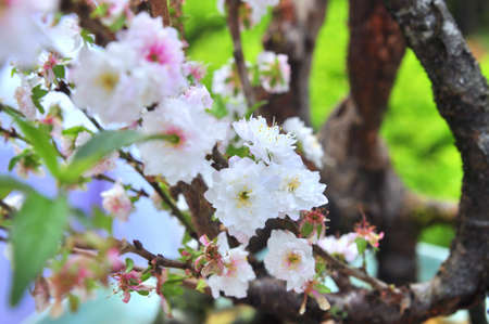 knobby: White apricot blossom in the spring