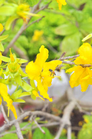 Yellow apricot blossom in the spring