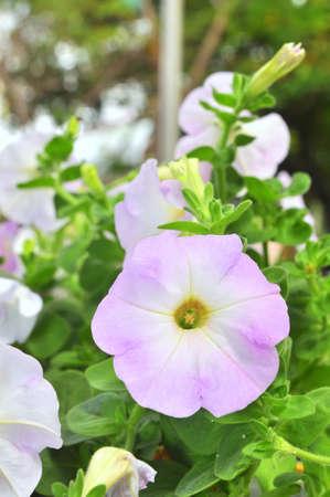 knobby: Purple petunia flower