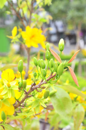 knobby: Yellow apricot blossom in the spring