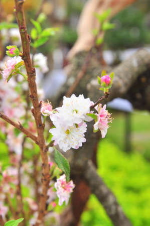 White apricot blossom in the spring