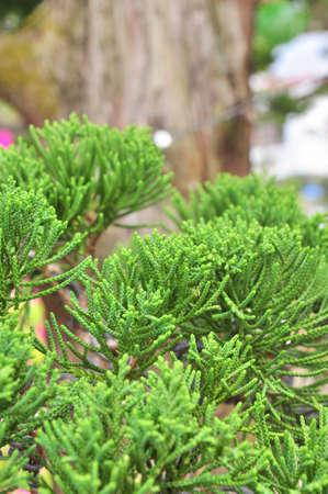 Bonsai pine Stock Photo