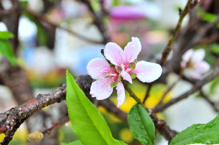 knobby: Peach blossom in the spring in Vietnam Stock Photo