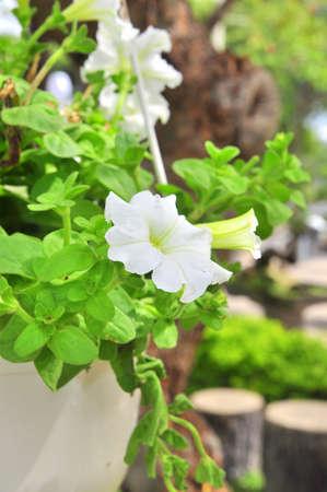 White petunia flower Stock Photo