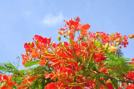 열대 poinciana 붉은 꽃