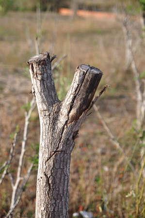 dead tree: Dried victory tree