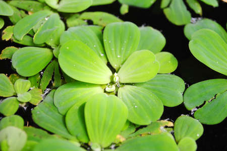 Green duckweeds on water in asia Stock Photo