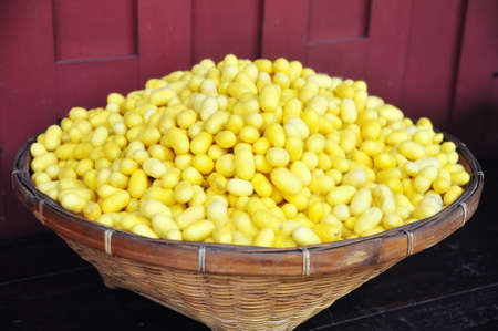 sericulture: Yellow cocoons of silkworm for making silk in asia