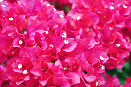 Purple Bougainvillea blossom