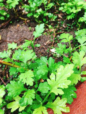 Green Wormwood vegetables in garden pot Stock Photo