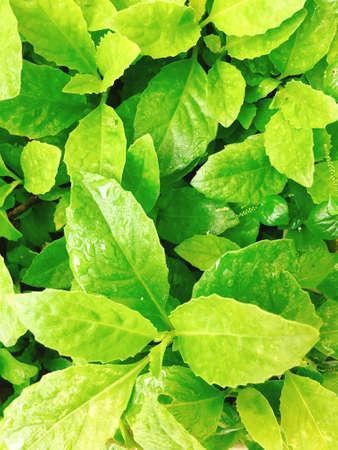 ajenjo: Green vegetables