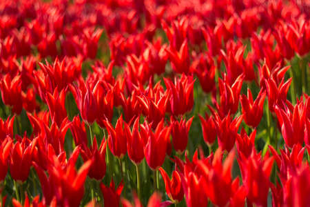 Bright red colored tulips with pointed tips