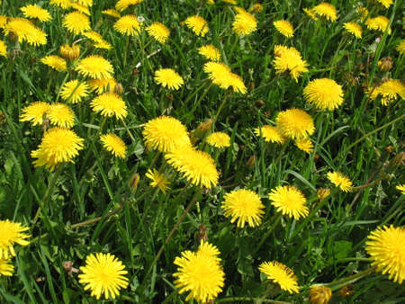 Beautiful field of dandelions