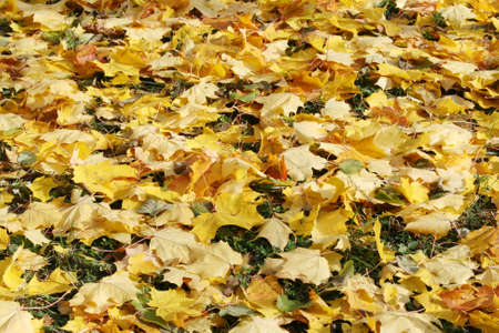 Autumn carpet of yellow leaves