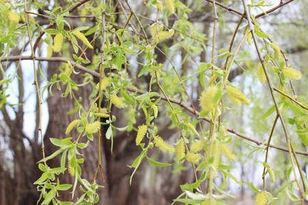 wierzba płacząca w lesie