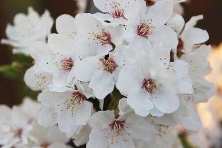 Ciliegeto in fiore alberi primaverili in fiore