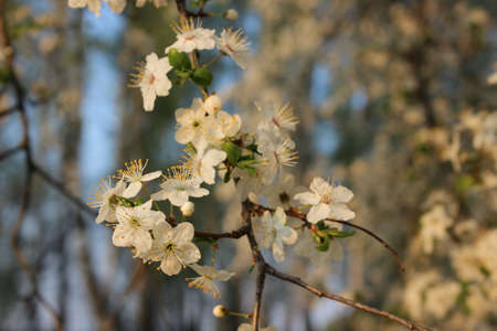 Blooming cherry orchard spring blooming trees