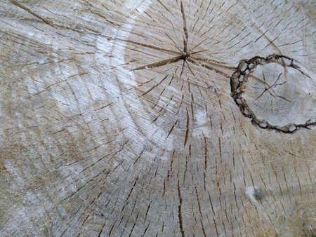 Beautiful wood texture, background slice trunk stump cut tree