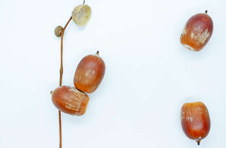 Acorns are located on a white background 写真素材
