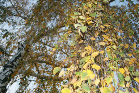Autumn birch leaves on tree branches, nature