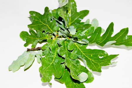 Green wet oak leaves located on a white background Banco de Imagens