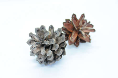 Spruce cone is located on a white background