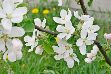 Tsuching apple orchard spring white flowers red flowers