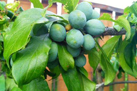 Summer green plum tree not mature fruit