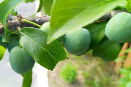 Summer green plum tree not mature fruit