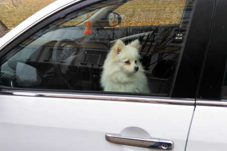 Little white dog sits in the car in the drivers seat