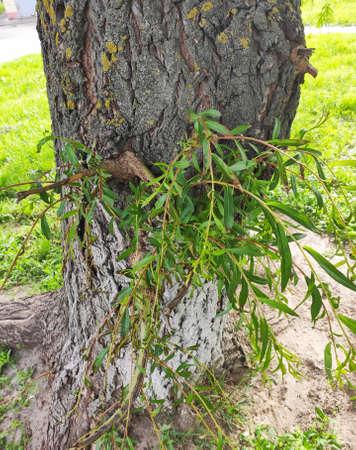 Tree shrub grass sunny spring day branch of the ive 免版税图像