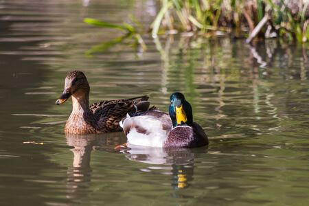 Close up of  two ducks swimming in the pond photo