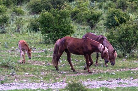 Three horses grazing in the mountains, Crimea, Ukraine photo