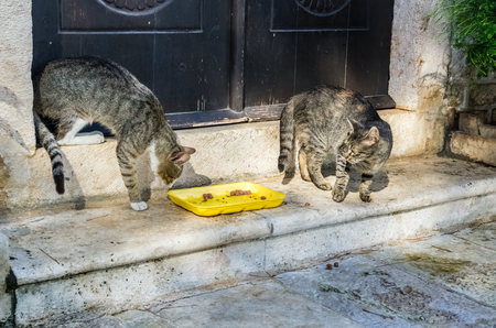 food fight: Two cats fight for food in old Perast city Montenegro