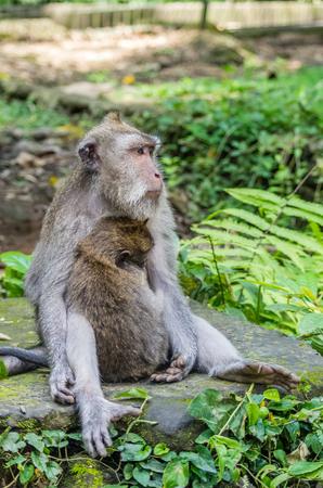 Wild female monkey sits with child in sacred Monkey Forest park, Ubud, Bali, Indonesia Stockfoto