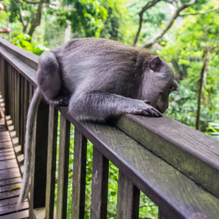 Wild Monkey rest in sacred Monkey forest park, Ubud, Bali, Indonesia
