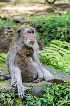 Wild female monkey sits with child in sacred Monkey Forest park, Ubud, Bali, Indonesia Stok Fotoğraf