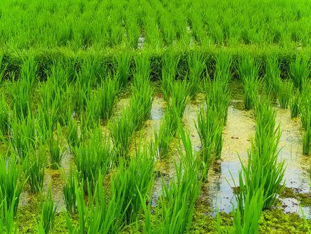 Closeup view on rice terraces Jatiluwih, Bali, Indonesia