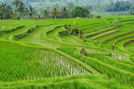 Panorama view on rice terraces Jatiluwih, Bali, Indonesia