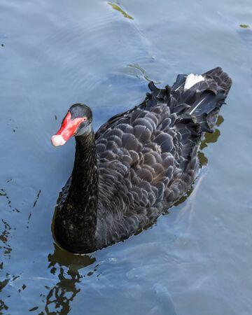 Single black swan (cygnus atratus) swims in a pond in the Yanoda Rainforest Cultural Tourism Zone, Hainan, China