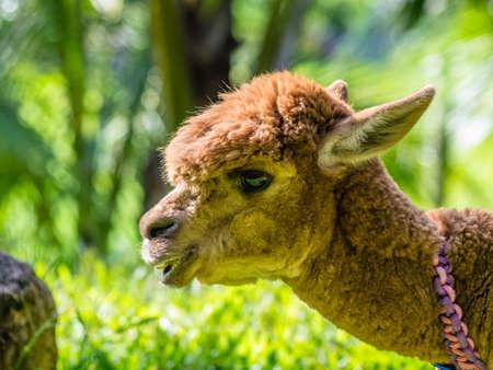 Alpaca (vicugna pacos) portrait in the Yanoda Rainforest Cultural Tourism Zone, Hainan, China