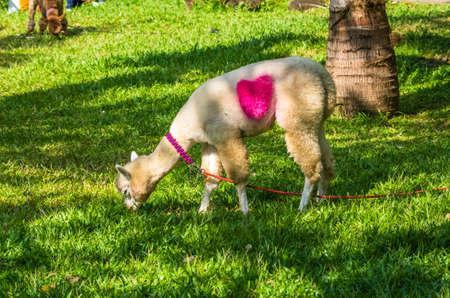 Alpaca (vicugna pacos) grazes on the lawn in the Yanoda Rainforest Cultural Tourism Zone, Hainan, China Reklamní fotografie