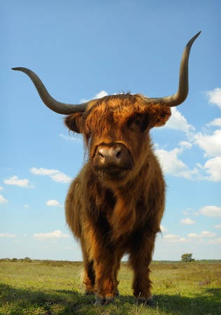 in ox: CLose up of proud ox against blue sky in heather field Stock Photo