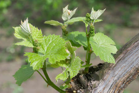 Young grapes in wineyards of south Ukraine