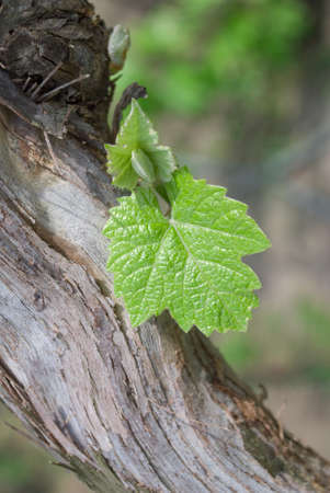 wineyard: Young grapes in wineyards of south Ukraine