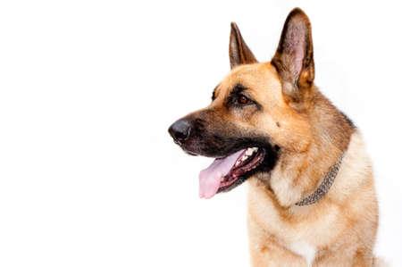 perro policia: Retrato de perro de shepard alemán sobre fondo blanco