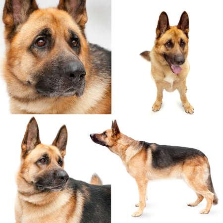 Colección de un brotes de perros (Pastor alemán)  Foto de archivo