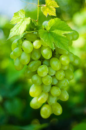 grape cluster: Green grapes close-up from a vinyard