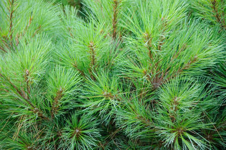 Prickly branches of fir photo