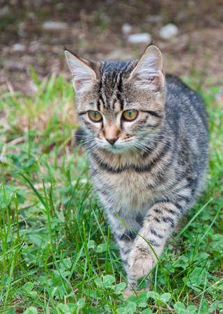 slink: Young kitten creeping towards the camera through long grass